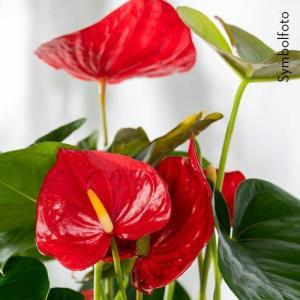 Flamingo-Blume