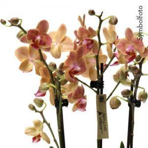 Orchidee Phalaenopsis Kolibri orange