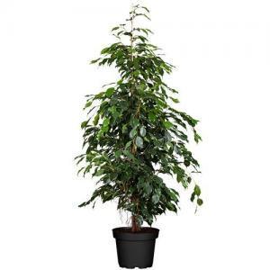 Ficus benjamin Danielle
