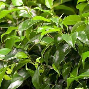 Ficus Benjamin Danielle Blätter