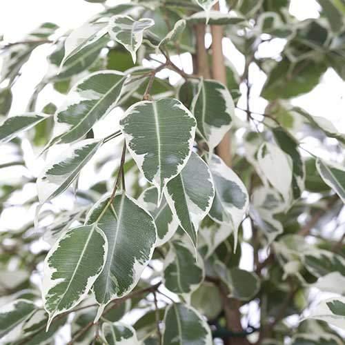 Ficus benjamin twilight